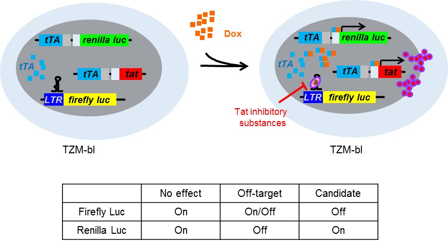 Scheme of the simplified system for screening Tat-mediated transcription inhibitors. Stable TZM-bl cells integrated with LTR-driven firefly luciferase (F-Luc) were serially selected with two doxycycline (Dox)-inducible lentiviral cassettes. The cassettes were constructed with Tat and the Renilla luciferase (R-Luc) gene downstream promoter regulated by the tetracycline-controlled transactivator (tTA), which was activated by treatment with Dox. TZM-bl/Tat/R-Luc cells treated with Dox expressed both Tat and R-Luc from the two lentiviral cassettes. The expressed Tat subsequently promoted the expression of F-Luc from the HIV-LTR promoter. The expression level of R-Luc indicated the cellular transcriptional activity to estimate the Tat expression level after treatment with Dox. If the cells were treated with a Tat-specific inhibitor in the presence of Dox, the Tat-induced F-Luc activity could be switched off without altering the R-Luc activity.