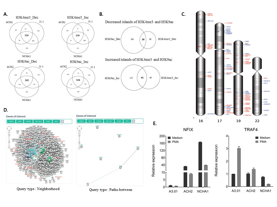 Identification of novel genes associated with HIV-1 latency by analysis of histone modifications. (A and B) Venn diagram of differentially enriched H3K4me3 and H3K9ac islands in chromosomes 16, 17, 19, and 22 of HIV-1 latently-infected cells. (C) Human chromosome map showing the localization of 38 decreased and 41 increased gene islands. (D) A visualization of the interactions of TOP2A, ITGB2, TRAF4, and SEC14L2 with NFIC and NFIX by Pathway Commons Network Visualizer (PCViz). The neighbourhood in query types shows the overall frequency of alteration for each gene in the network and the paths between query types shows the direct interactions of each gene in the network. (E) The result of real-time polymerase chain reactions (PCR) with and without PMA treatment in HIV-1 latently-infected cells