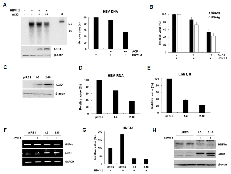 ACK1 inhibits HBV replication at the transcriptional level. (A) Effect of ACK1 on HBV replication. The indicated plasmids were transfected into HepG2 cells grown in 6-well plates and the cells were harvested 3 days later. M, Mock; +, 1 µg; ++, 2 µg; ds DNA, double-stranded HBV DNA; and ss DNA, single-stranded HBV DNA. (B) The secretion of HBeAg/HBsAg in HepG2 cell supernatant. The values represent the mean ± SD calculated from three independent experiments. (C) Establishment of ACK1 stable HepG2 cells. pIRES-ACK1 plasmids were transfected into HepG2 cells and ACK1-stable cells were selected with puromycin (1 µg/mL) for two weeks. (D) Effect of ACK1 on HBV transcription. Real-time PCR was performed using an ABI 7500 instrument. (E) Relative luciferase activity of HBV enhancer I and II in ACK1-stable HepG2 cells. (F and G) Effect of ACK1 on HNF4α mRNA in reverse transcription (RT)-PCR (F) and real-time PCR (G). Real-time PCR was performed using an ABI 7500 instrument. (H) Effect of ACK1 on HNF4α protein level.