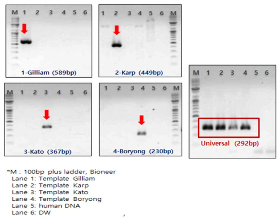 Figure 16. Detection of rickettsial DNA using type-specific primers by conventional PCRs. Agarose gel electrophoresis of rickettsial DNA amplified by PCRs from serotype-specific and universal primers.